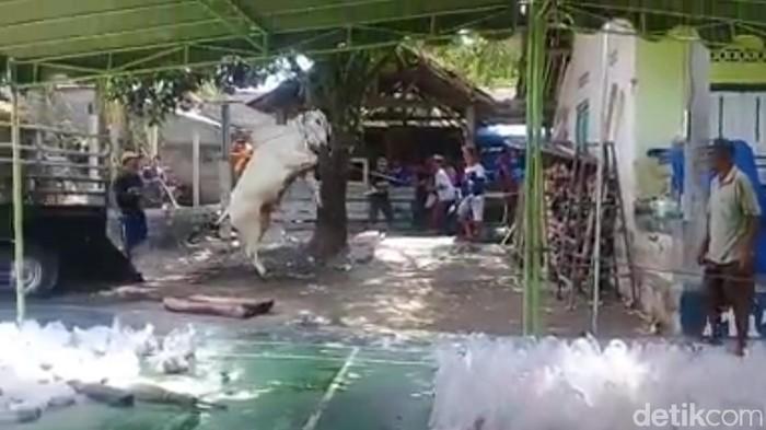 Sapi Kurban Ngamuk di Blitar Disebut Sapi Luar Jawa