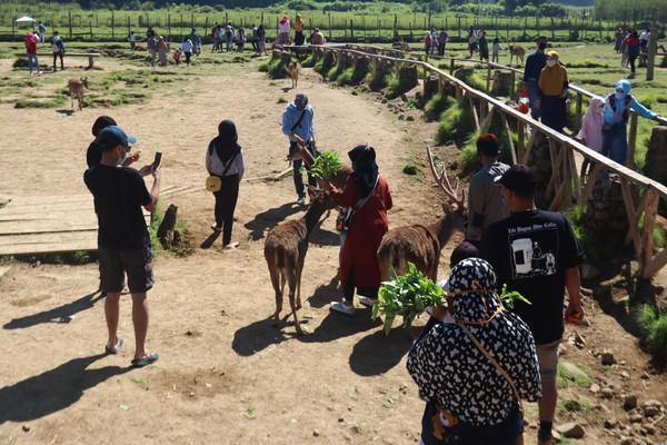 Pengunjung juga bisa memberi makan rusa dengan pakan yang sudah disediakan. (Wisma Putra/detikcom)
