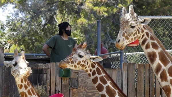 Krisis finansial yang membayangi kebun binatang tersebut membuatnya merumahkan lebih dari 100 karyawan agar dapat tetap beroperasi. Diketahui, Oakland Zoo memiliki ratusan karyawan yang bekerja di sejumlah bagian, mulai dari bagian yang menangani pengunjung, petugas yang mengurusi makanan hingga kesehatan hewan, hingga petugas keamanan yang membutuhkan biaya mencapai 1,2 juta US Dollar per bulan. AP Photo/Ben Margot.