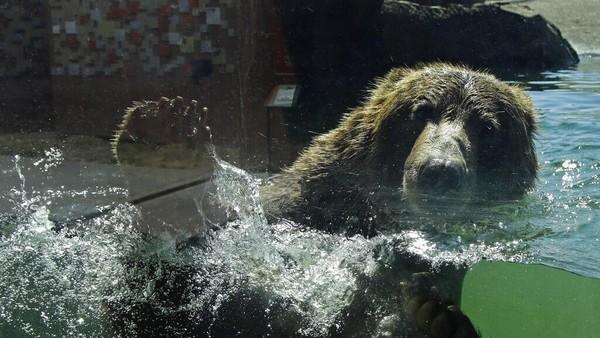 Meski kembali dibuka, dilansir dari AP, jumlah pengunjung yang berwisata ke kebun binatang tersebut masih terhitung sedikit jika dibandingkan dengan hari biasa sebelum pandemi COVID-19. AP Photo/Ben Margot.