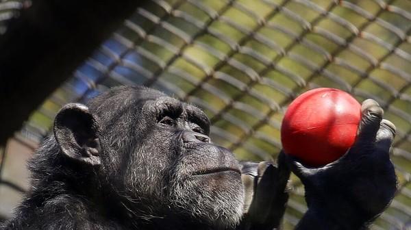 Dampak pandemi COVID-19 terasa pada sektor pariwisata di berbagai negara dunia, termasuk Amerika Serikat. Sejumlah kebun binatang di Negeri Paman Sam pun kini tengah berjuang cukup keras agar dapat mengatasi krisis keuangan untuk tetap mengoperasikan sejumlah kebun binatang tersebut. AP Photo/Ben Margot.