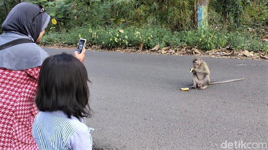 Kemarau Bikin Monyet di Hutan Blora Turun ke Jalan Demi Makanan
