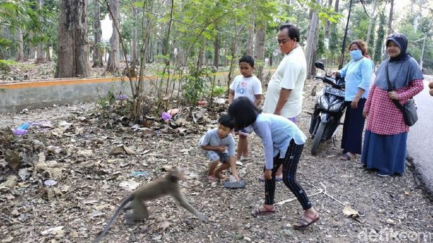 Monyet turun ke jalan di Blora