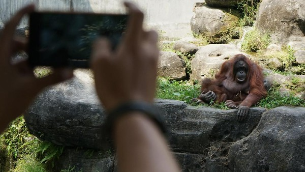 Pengunjung memotret orang utan di tempat wisata Gembira Loka (GL) Zoo, Yogyakarta, Senin (3/8/2020).