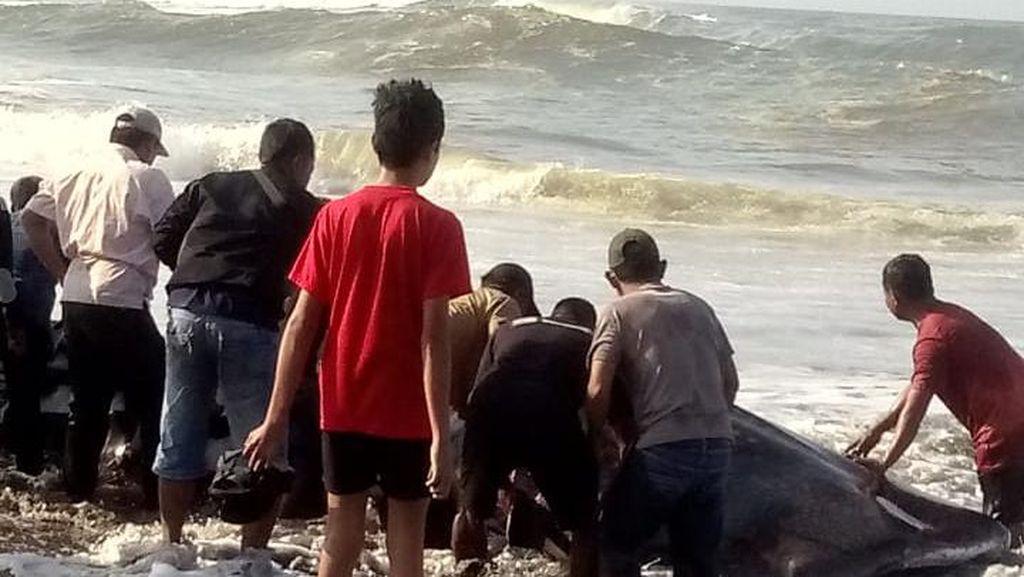 Hiu Tutul Mati Terdampar di Pantai Cipatujah Tasik, Warga Ambil Dagingnya