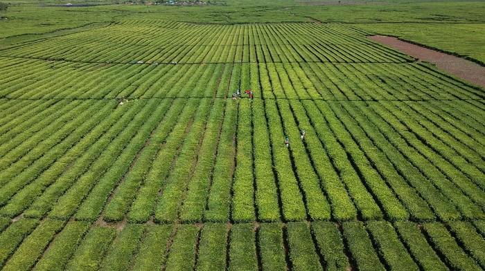 Pekerja menyortir daun teh usai dipetik di perkebunan PTPN VI, Kayu Aro, Kerinci, Jambi, Senin (3/8/2020). PT Rajawali Nusantara Indonesia (Persero) atau RNI menyebutkan produksi teh nasional hingga bulan Juni 2020 tercatat sebesar 1.801 ton atau meningkat 52 ton dibanding periode tang sama tahun lalu. ANTARA FOTO/Wahdi Septiawan/wsj.