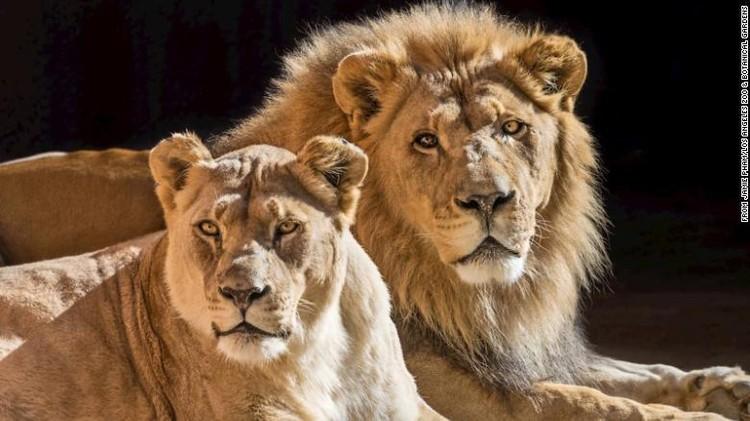 Singa Afrika di Kebun Binatang LA Hubert dan Kalisa