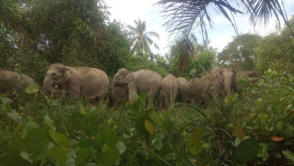 14 Ekor Gajah Liar Masuk Permukiman Penduduk di Riau
