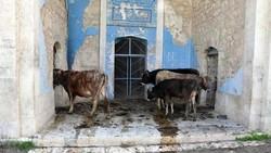 Potret Masjid Bersejarah yang Jadi Kandang Ternak