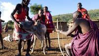 Suku Maasai di Kenya Ini Hobi Minum Darah Sapi yang Masih Segar