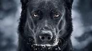 Potret Anjing Hitam yang Disebut Mirip Batman