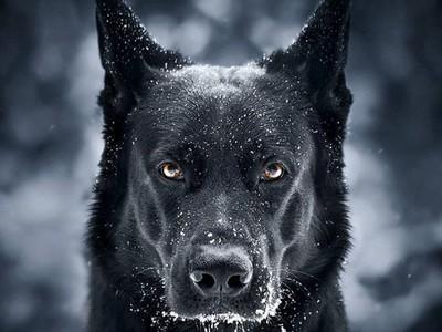 Hitam Menawan! Anjing Mirip Batman