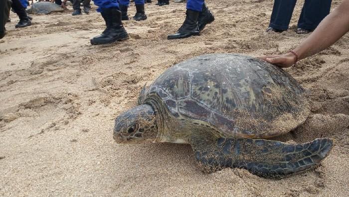Penyu yang Dilepasliarkan di Pantai Kuta