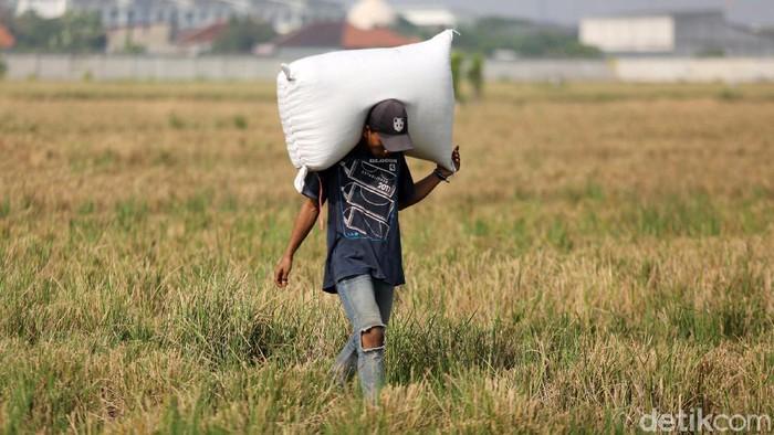 Jakarta sebagai pusat pemerintahan dan pusat bisnis ternyata masih menyimpan lahan pertanian. Seperti lahan padi di Rorotan yang tengah dipanen ini.