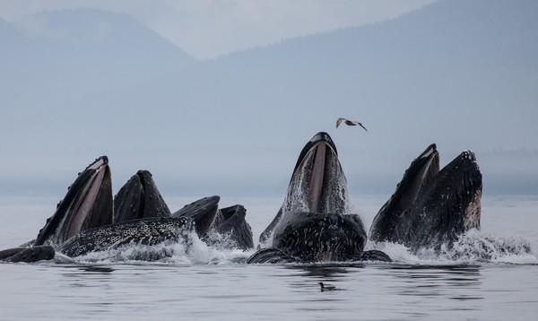 Kayak di Inside Passage, Alaska menawarkan menatap beruang bermain-main di pantai dari jarak 50 kaki saja. Di sini juga ada berang-berang laut, anjing laut, bintang laut, elang botak, dan polong humpback. Berkunjunglah pada musim paus (April – November), untuk melihat paus yang datang dari berbagai arah. (iStock)