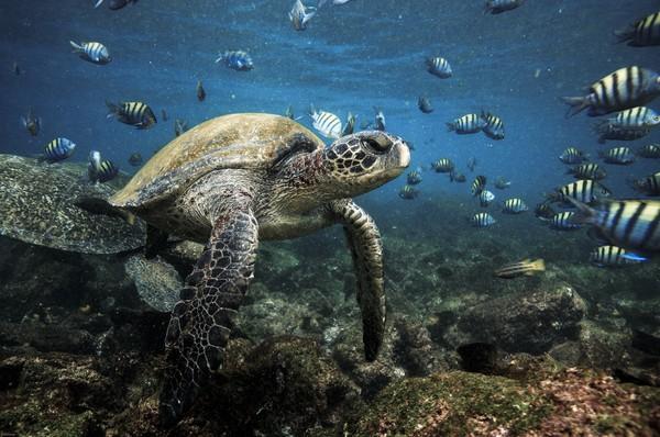 Mendayung menikmati kehidupan laut bisa juga nih di area Taman Nasional Galapagos, Ekuador. Nikmati matahari dan kura-kura laut yang berenang di bawah laut, iguana laut yang duduk di atas bebatuan dan boobies kaki biru terbang di atas kepala kamu. (iStock)