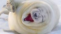 Ketika Anjing Laut Dijepret Saat Tertawa