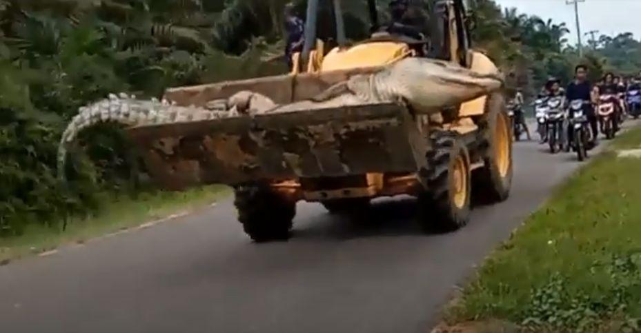 Buaya berukuran besar diarak menggunakan bulldozer.