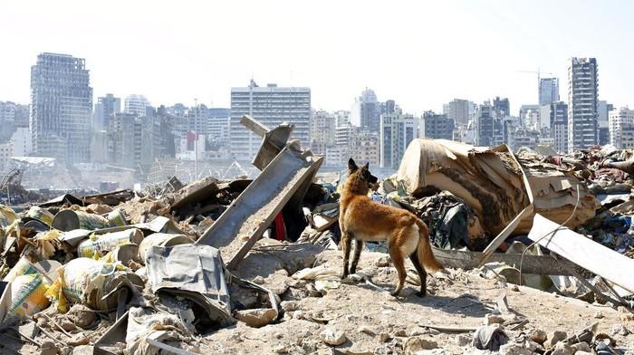 Anjing pelacak dikerahkan untuk bantu proses evakuasi dan pencarian korban ledakan di Lebanon. Hingga kini diketahui nyaris 150 orang tewas akibat ledakan itu