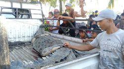 Buaya yang Terkam Wanita di Mamuju Tengah Sulbar Ditangkap