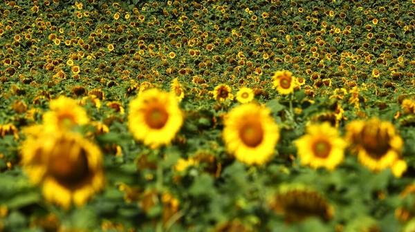 Bunga matahari di lapangan Glonn, tenggara Munich, Jerman. AP Photo/Matthias Schrader