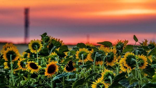 Bunga matahari mekar penuh sebelum matahari terbit di Frankfurt. AP Photo/Michael Probst