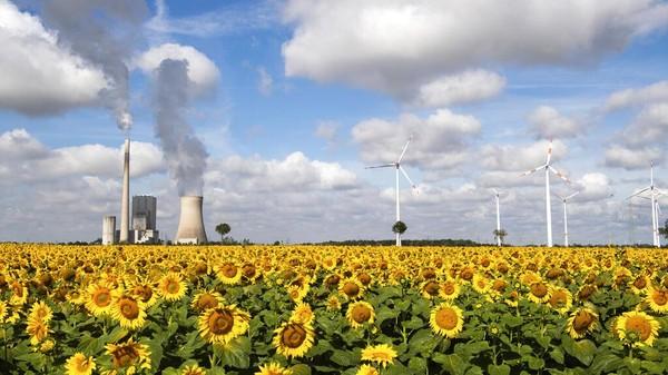 Ladang bunga matahari di tengah pembangkit listrik tenaga batu bara Mehrum, turbin angin, dan saluran tegangan tinggi di Mehrum, Jerman. Julian Stratenschulte/dpa via AP