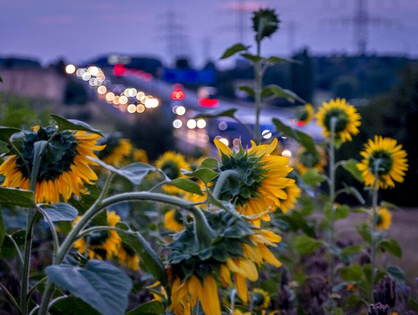 Bunga matahari mekar penuh di sebelah jalan raya utama di sekitar Frankfurt. AP Photo/Michael Probst
