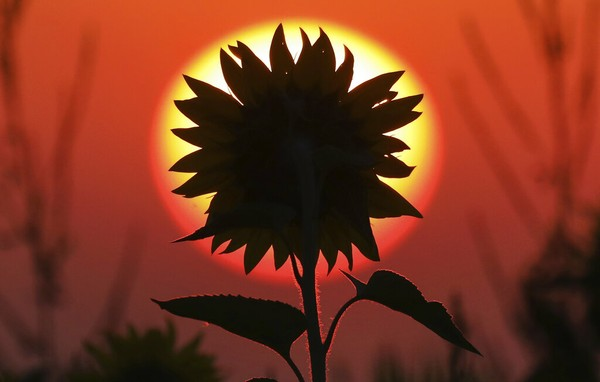 Matahari terbit di belakang bunga matahari di Aderzhofen, Jerman. Photo/ Thomas Warnack/dpa via AP