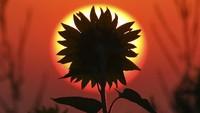 Pesona Bunga Matahari Bermekaran di Jerman