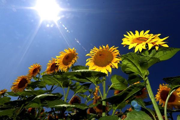 Bunga matahari tumbuh di ladang Mamming, Jerman. AP Photo/Matthias Schrader