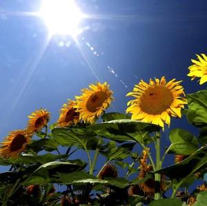 5 Manfaat Bunga Matahari yang Jarang Diketahui Banyak Orang