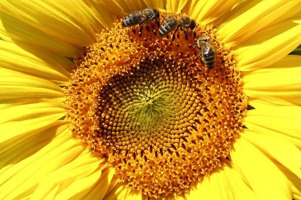 Lebah hinggap di bunga matahari di ladang Mamming, Jerman. AP Photo/Matthias Schrader