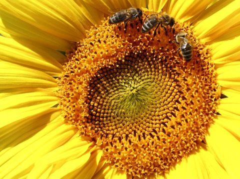 Bunga Matahari Bermekaran di Jerman