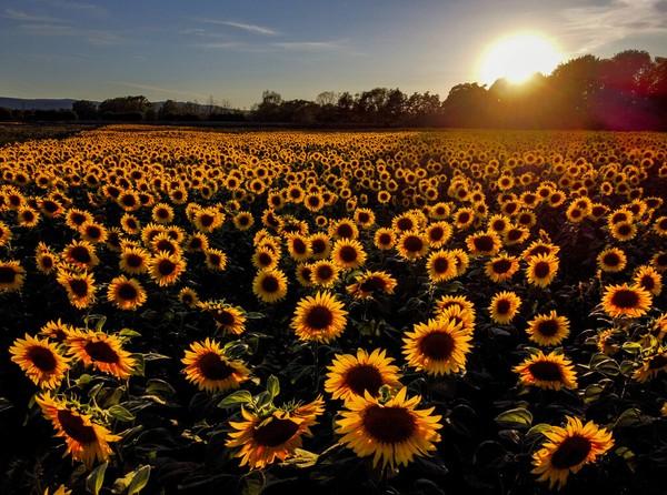 Bunga matahari mekar penuh di sebuah ladang di Wehrheim dekat Frankfurt, Jerman. AP Photo/Michael Probst