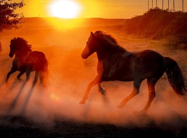 Kuda-kuda berlari saat matahari terbenam di gelombang musim panas Jerman. AP Photo/Michael Probst
