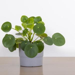 Jenis Tanaman Hias Pilea Untuk Indoor, Bagi yang Hobi Berkebun