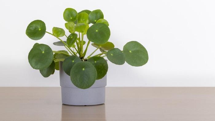 Jenis Tanaman Hias Pilea Untuk Indoor Bagi Yang Hobi Berkebun