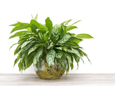 bunch of green houseplant cuttings, Aglaonema, rooting and growing in a large glass vase