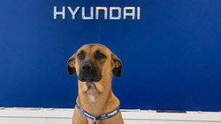 Lucu! Karyawan Dealer Hyundai Ini Seekor Anjing, Tuai Respon Positif