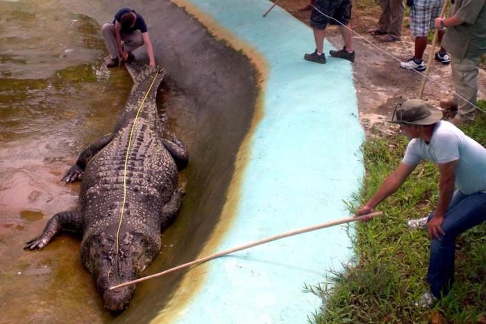 Zoologis dari Australia Adam Briton saat mengukur buaya Lolong. (Richard Grande/AFP)
