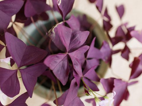 Purple Oxalis Triangularis houseplant in bright natural light in the Spring of 2020 in South Florida. A bright joyful plant bringing inspiration during the COVID-19 pandemic of 2020. The plant is a beautiful teal-colored ceramic flower pot. Oxalis triangularis, commonly called false shamrock, is a species of edible perennial plant in the Oxalidaceae family. It is endemic to Brazil. Three is often the magic number when it comes to Oxalis. The most common species grown as a houseplant is Oxalis triangularis which has three common names, False Shamrock, Purple Shamrock and Love Plant.