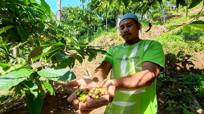 Curhatan Petani Kopi di Lereng Gunung Muria di Tengah Pandemi