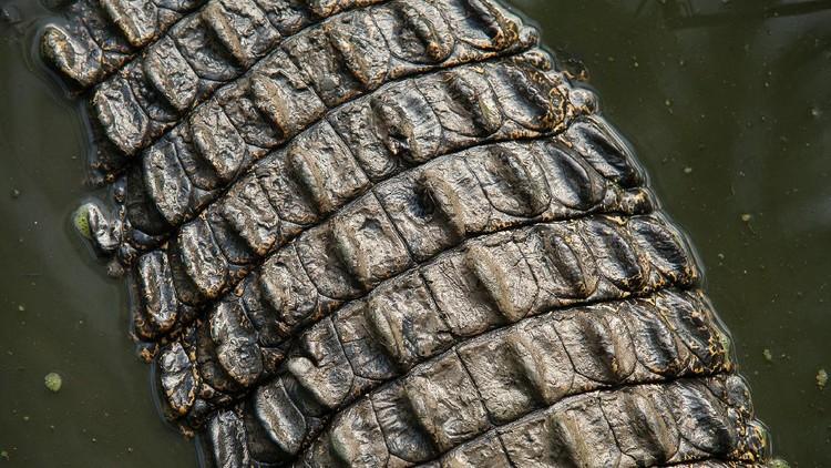 Aneka Pose Gahar Buaya Muara (Crocodylus porosus) di Indonesia dan Australia