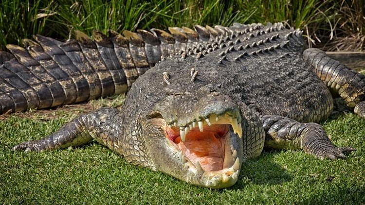 Aneka Gaya Buaya Muara (Crocodylus porosus) di Indonesia dan Australia