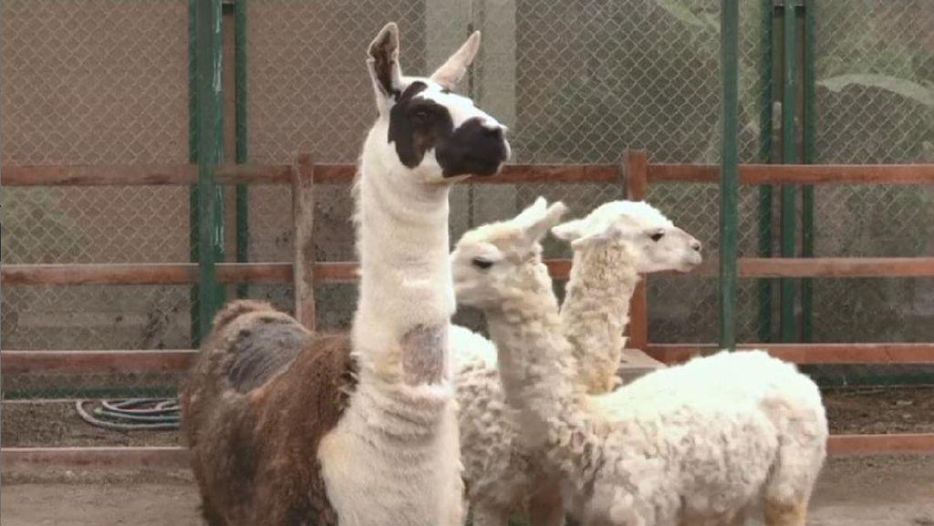 Ini Tito, Llama yang Antibodinya Diuji untuk Terapi COVID-19