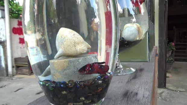Salah satu ikan cupng yang dijual Akmal.