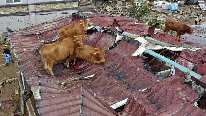 REMOVES UNNECESSARY WORDS - People try to save cattle from the roof of cattle shed after the water drained from the submerged residential area following heavy rain in Gurye, South Korea, Sunday, Aug. 9, 2020. (Park Chul-heung/Yonhap via AP)