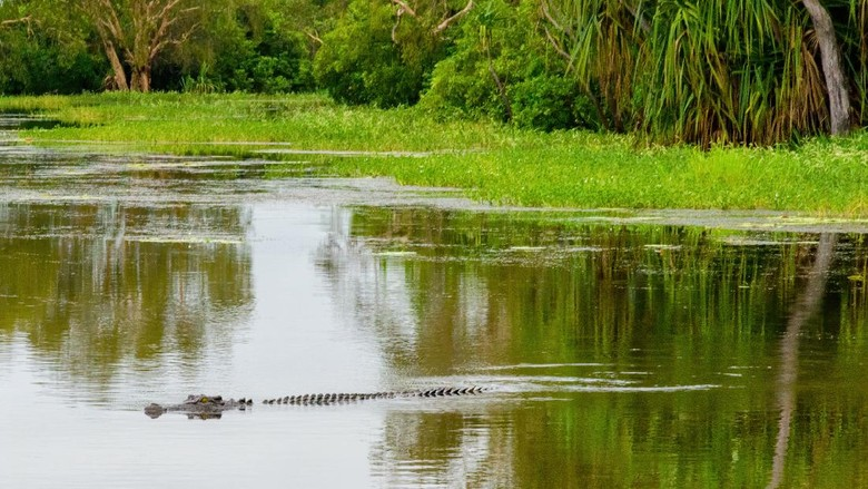 Buaya Muara (crocodylus porosus) di Australia