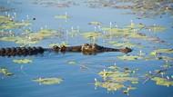 Tim SAR Temukan Buaya Ukuran 2 Meter Saat Cari Bocah Hilang di Sungai Mahakam